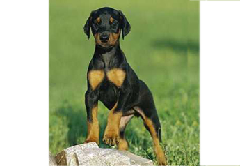 Doberman puppies for sale - Thrissur