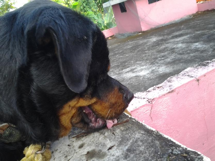 Male Rottweiler for sale - Thiruvananthapuram