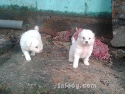 Pomeranian Puppy For Sale Thrissur Infooy