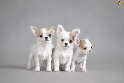 Chihuahua Pet Dogs for sale -Mumbai