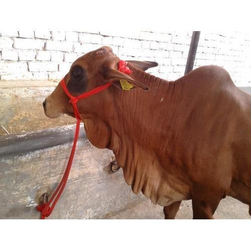 Sahiwal Cow -  Vismaya Integrated Farm Tech -Bengaluru, Karnataka