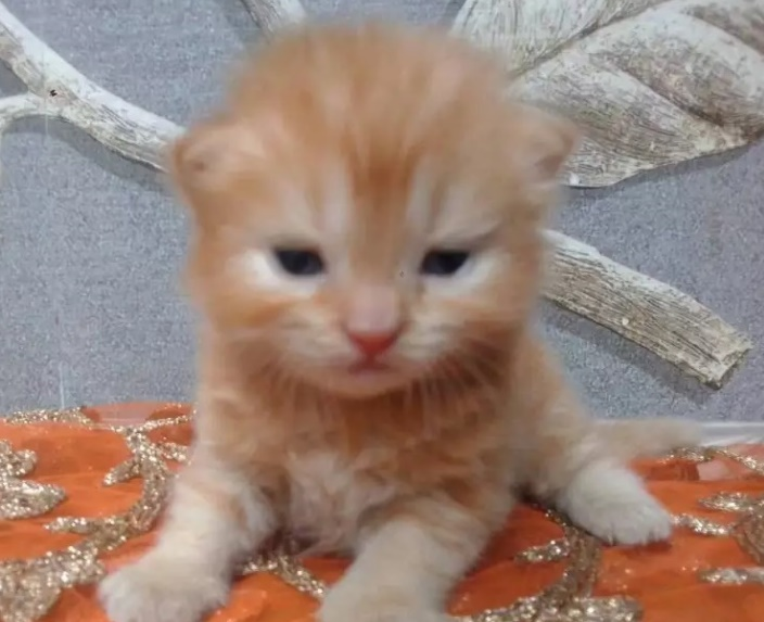 Golden colour Punch face Persian kitten sale