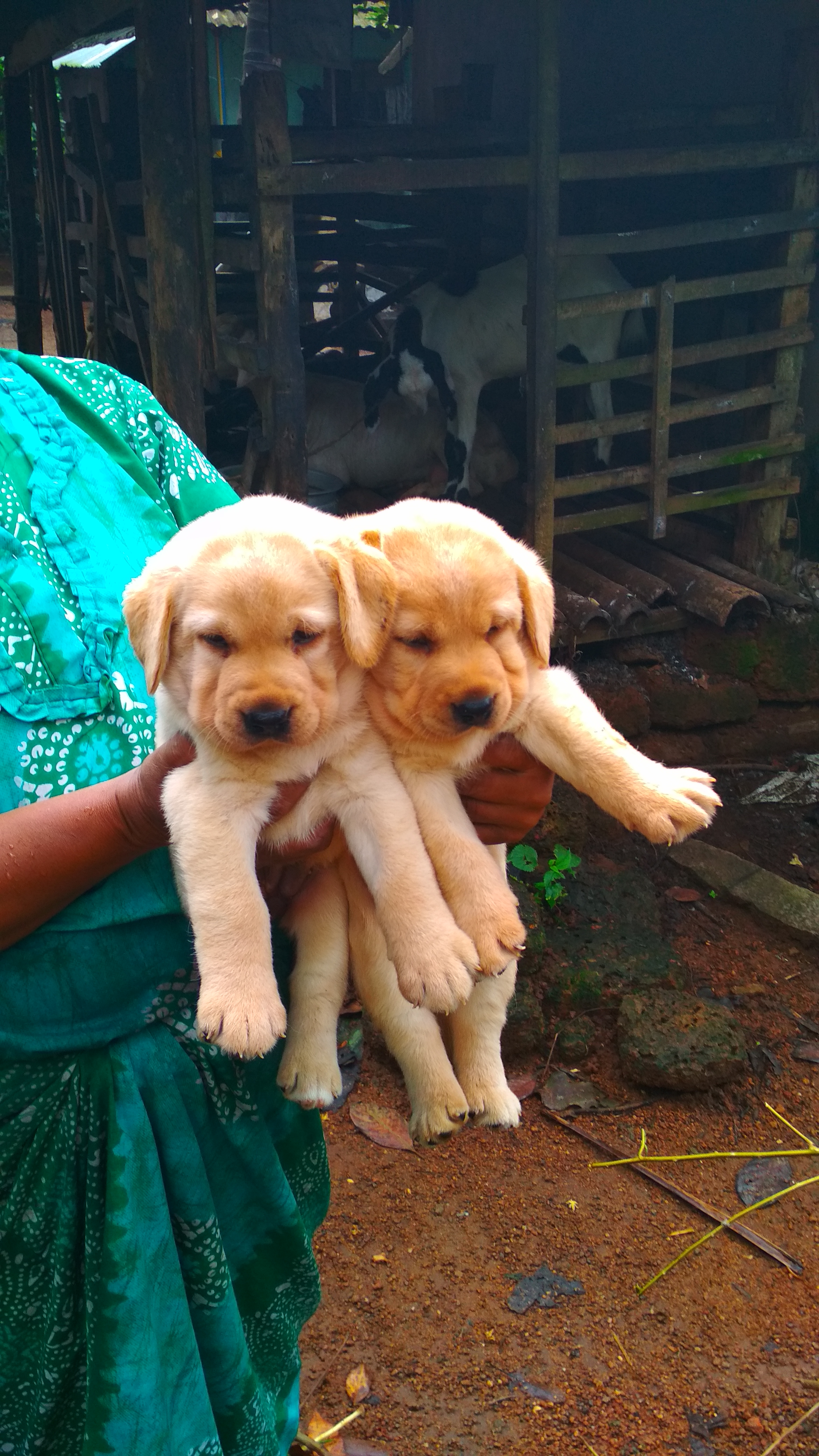 Lab puppy for sale -thrissur