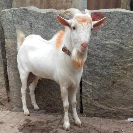 Bantom Goat